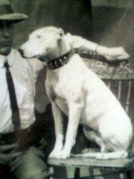 Box Bulldog